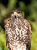 Звероловство крупного плана хищной птицы и еда искать в лесе Стоковое Фото