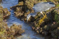 Звероловство маленького Egret Стоковое Изображение RF