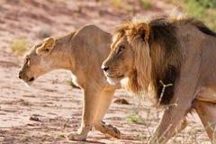Звероловство мужчины и львицы льва Стоковая Фотография