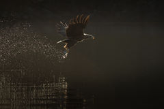 Звероловство орла моря Стоковые Изображения RF