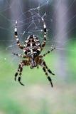 Звероловство паука сада перекрестное на spiderweb Стоковая Фотография RF