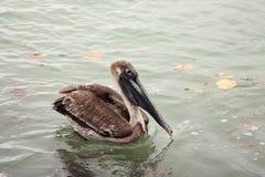 Звероловство пеликана Брайна для рыб в океане Стоковое Фото