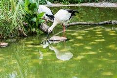 Звероловство птицы белого аиста для рыб Стоковые Изображения