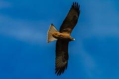Звероловство птицы орла Желт-Представлять счет-змея Стоковые Фото