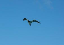 Звероловство птицы олуха для рыб в Вест-Инди Стоковые Фото