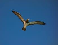 Звероловство птицы олуха для рыб в Вест-Инди Стоковое фото RF