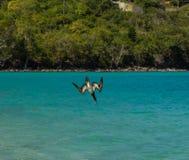 Звероловство птицы олуха для рыб в Вест-Инди Стоковые Изображения RF