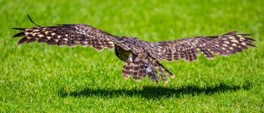 Звероловство птицы сыча в полете Стоковые Изображения RF