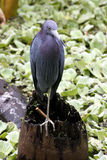 Звероловство птицы Флориды Стоковые Изображения
