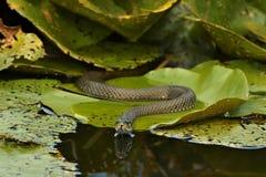 Звероловство ужа ужа змейки травы на листьях лилий воды Стоковая Фотография RF