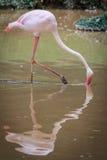 Звероловство фламинго для рыб стоковое изображение rf