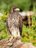 Звероловство хищной птицы и еда искать Стоковая Фотография