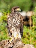 Звероловство хищной птицы и еда искать Стоковые Изображения