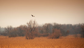 Звероловство хищной птицы на банках тросточки реки Стоковое Фото