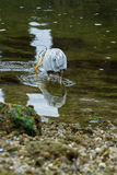 Звероловство цапли большой сини в Eelbed Стоковые Изображения RF