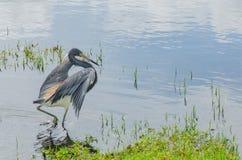 Звероловство цапли в болоте Стоковые Фотографии RF
