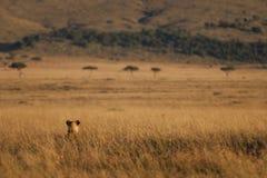 Звероловство льва в Masai Mara, Кении Стоковое Изображение RF
