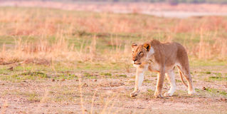 Звероловство льва Стоковые Фотографии RF
