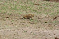 Звероловство льва Стоковое Изображение RF