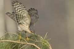 Звероловство nisus настоящего ястреба Sparrowhawk для малых птиц Стоковые Изображения RF