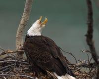Звонки белоголового орлана к своей ответной части стоковые изображения rf