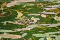 Звонок лягушки Стоковое Изображение
