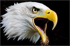 Звонок орла стоковое изображение rf