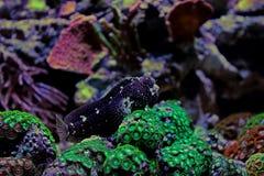 Звёздный Blenny - ramosus Salarias Стоковые Изображения RF