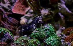 Звёздный Blenny - ramosus Salarias Стоковые Фотографии RF