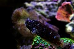 Звёздный Blenny - ramosus Salarias Стоковая Фотография