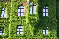 здание boston покрывает плющ цветка Стоковая Фотография