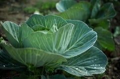 Здоровая капуста растя в почве Стоковое Изображение