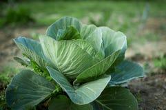 Здоровая капуста растя в почве Стоковая Фотография RF