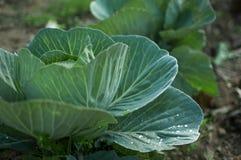 Здоровая капуста растя в почве Стоковое Фото