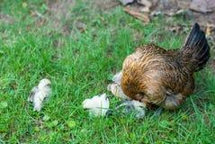 Здоровая курица подавая и принимая заботит ее 4 цыпленока новорожденного o стоковые изображения