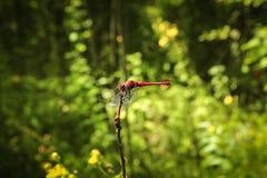 Здоровенный красный Dragonfly на ветви в поле стоковое фото rf