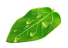 здоровые листья Стоковое Изображение RF