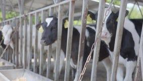 Здоровые молодые коровы на на открытом воздухе ферме молока с бирками ждать их кормить весной день сток-видео