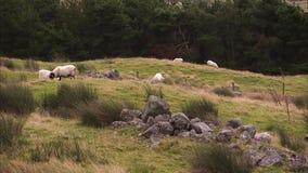 Здоровые овцы и утесы акции видеоматериалы