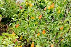 Здоровые органические груши на ветви в плодоовощах садовничают Стоковое Изображение RF