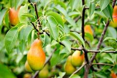 Здоровые органические груши на ветви в саде Стоковая Фотография RF