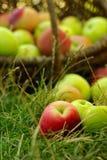 Здоровые органические яблоки в корзине. Стоковое Фото