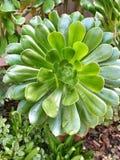Здоровый зеленый Succulent Стоковая Фотография RF