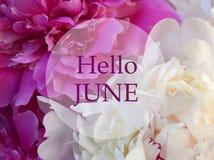 Здравствуйте! июнь Приветствующая карточка с текстом на предпосылке розового и белого пиона естественной флористической Концепция стоковые фото