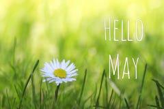 Здравствуйте! текст в мае и белая маргаритка цветут на предпосылке луга весны стоковое фото rf