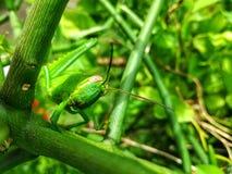 Здравствуйте!, I& x27; кузнечик зеленого цвета m Стоковые Фотографии RF
