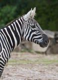 зебра африканского национального парка Кении amboseli одичалая Стоковое Изображение