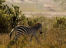 зебра Африки Стоковые Изображения