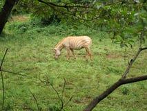 Зебра альбиноса Стоковые Фото