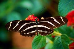 зебра бабочки longwing Стоковые Изображения RF